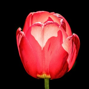 Tulipe-France
