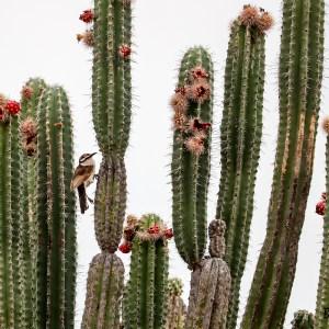 Cactus-Colombie