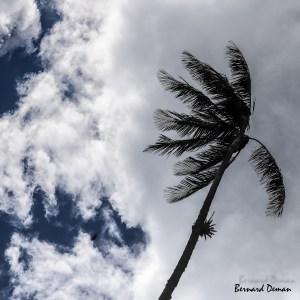 Palmier à cire-Colombie