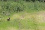Naissance des Lapins de garenne et présence autour des terriers