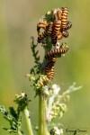 Les grappes de Chenilles du Papillon Ecaille du Séneçon dans les dunes du littoral
