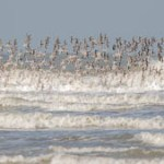 Observation des vols d'Oiseaux en migration  d'automne