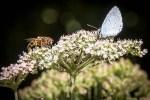 Blanches, jaunes ou violettes, les fleurs des champs et des bords de chemins attirent de nombreux Insectes