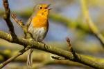 Chant des Passereaux à l'aube pour défendre leur territoire et préparer la nidification