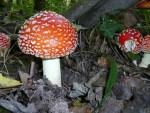 L'Amanite tue mouche, le champignon de Blanche neige, dans les sous bois