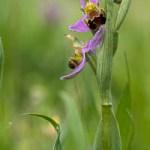 Des Orchidées particulièrement spectaculaires: les Ophrys