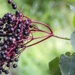 Les grappes de fruits du Sureau noir