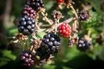 Récolte des Mûres, fruits des Ronces