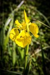 Floraison de l' Iris jaune des marais