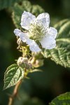 Floraison des Ronces