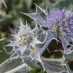La floraison du Chardon bleu des dunes