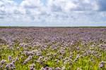 """Les baies de la Côte d'Opale tapissées de fleurs couleur """"améthyste"""" : les Lavandes de mer"""