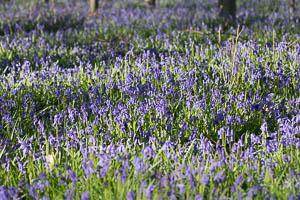 C'est le moment de voir les tapis bleus de Jacinthes des bois dans la forêt