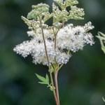 Floraison et récolte de la Reine des prés