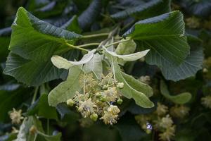 Cueillette des fleurs de Tilleul