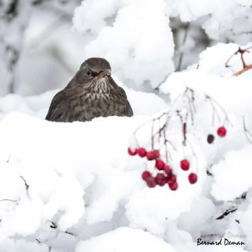 La première neige de l'hiver est tombée sur les Hauts de France ! Une galère pour les automobilistes mais une aubaine pour les naturalistes