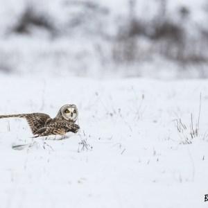 Hibou des marais-France-Nord