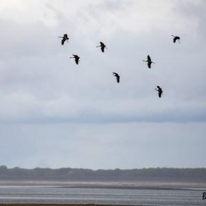 Grues cendrées-France-Haute Marne