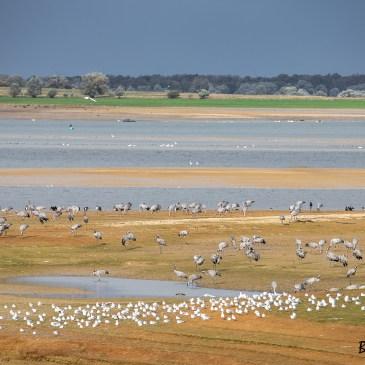 Novembre est le mois des migrations des grues cendrées et du festival international de la photo animalière à Montier en Der