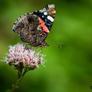 Papillon Vulcain- Harchies-Belgique