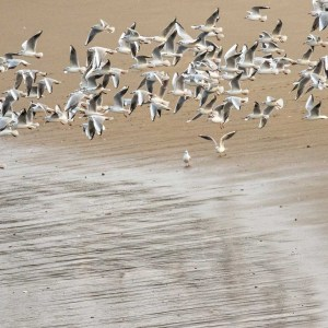 Mouettes rieuses. Digue du Braek. Dunkerque. Nord