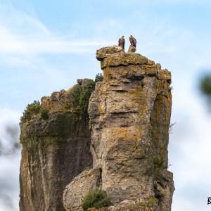 Vautour fauve-Gorges de la Jonte-Lozère-France