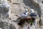 Le fabuleux spectacle des oiseaux qui viennent se reproduire et nicher dans les falaises de craie de la Côte d'Opale