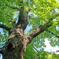 Le mois du chêne
