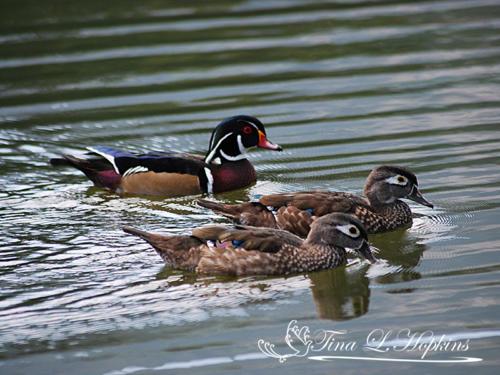 Ducks17