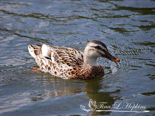 Ducks21
