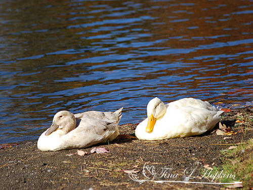 Ducks27