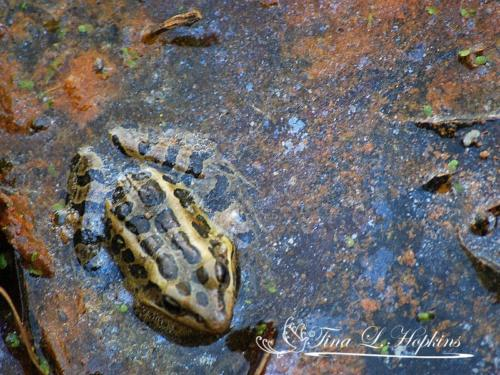 amphibian-1
