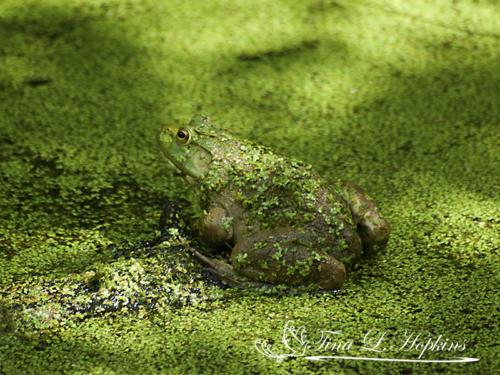 amphibian-15
