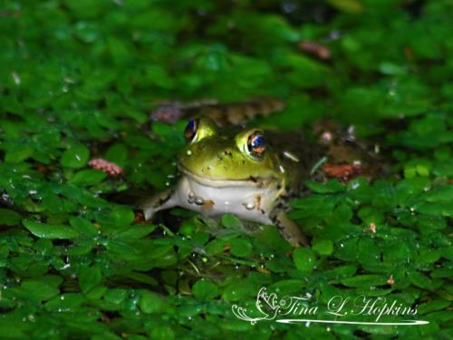 amphibian-3