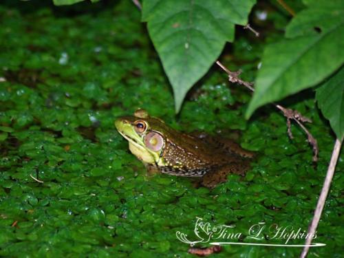 amphibian-4