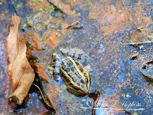 amphibian-7