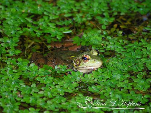 amphibian-8