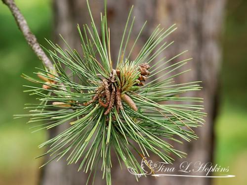 pinecone-11