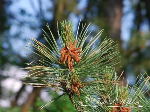 pinecone-14