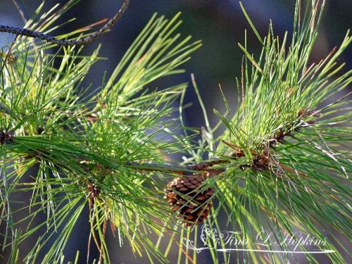 pinecone-17