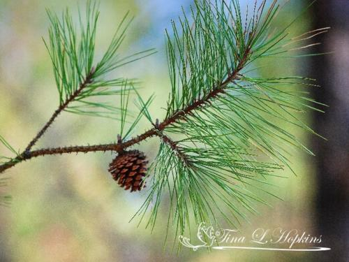 pinecone-2