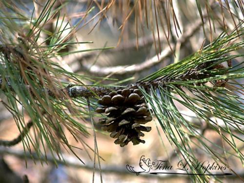 pinecone-20
