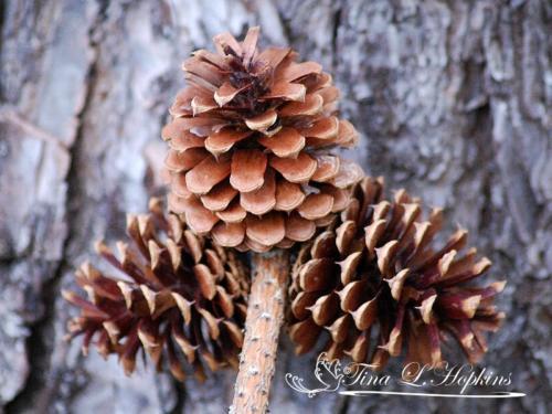 pinecone-5