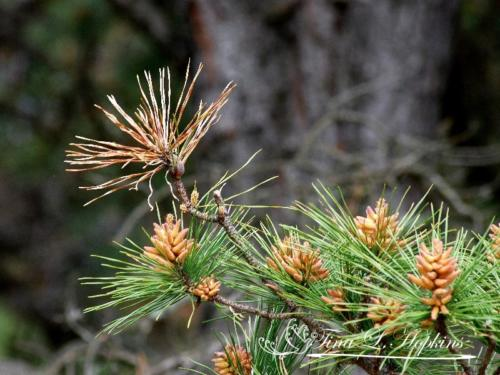 pinecone-9
