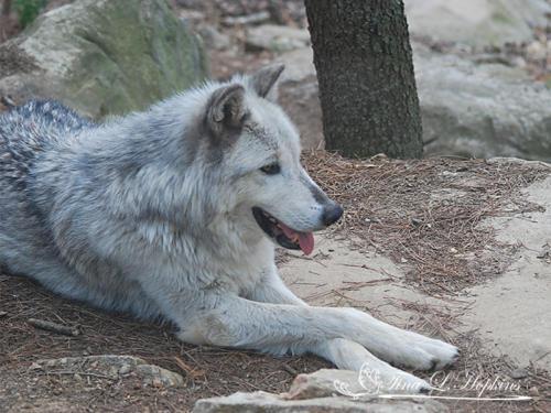 Grey Wolf - Cody