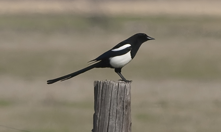 Photo (4): Black-billed Magpie