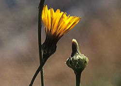 Reichardia picrioides : la cousteline !