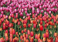Tulipes Sabatière Carqueiranne