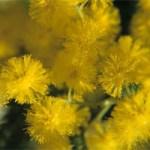 Sortie mimosas et botanique (Cavalière)