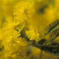 Mimosa et botanique